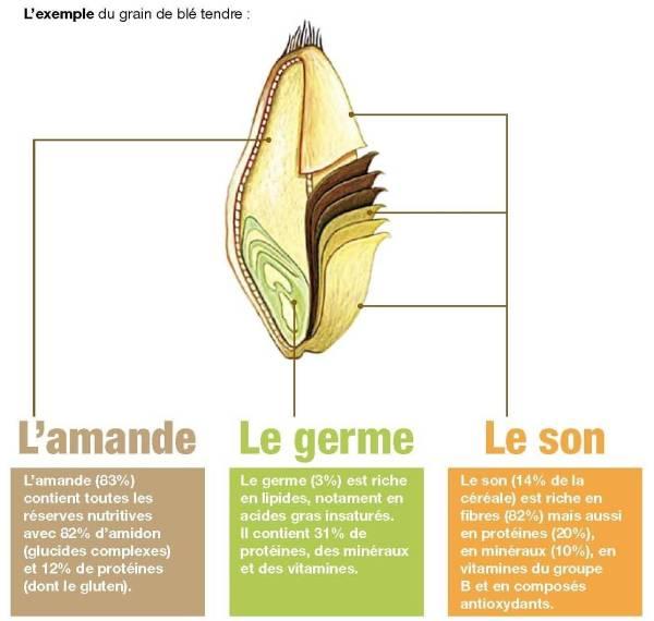 Schéma du grain de blé